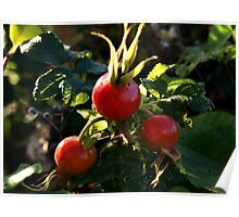 Juicy Red Rose Hips Poster