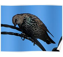 A Starling Poster