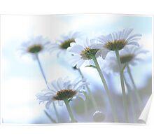 Dreamy Daisies (Leucanthemum vulgare) Poster