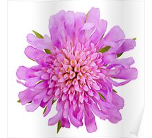 Pink scabious Poster