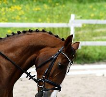 23.5.2015: Dressage Horse by Petri Volanen