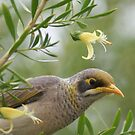Yellow throated Miner with Eremophila by robynart