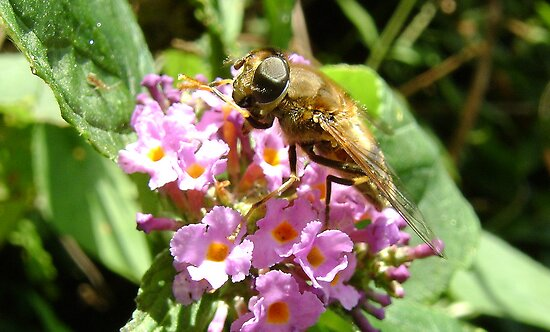 hoverfly on blossom by armadillozenith
