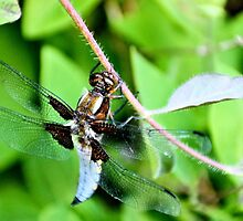 Broad Bodied Chaser Dragonfly - image 1 by missmoneypenny