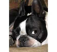 Boston Terrier Bailey Photographic Print