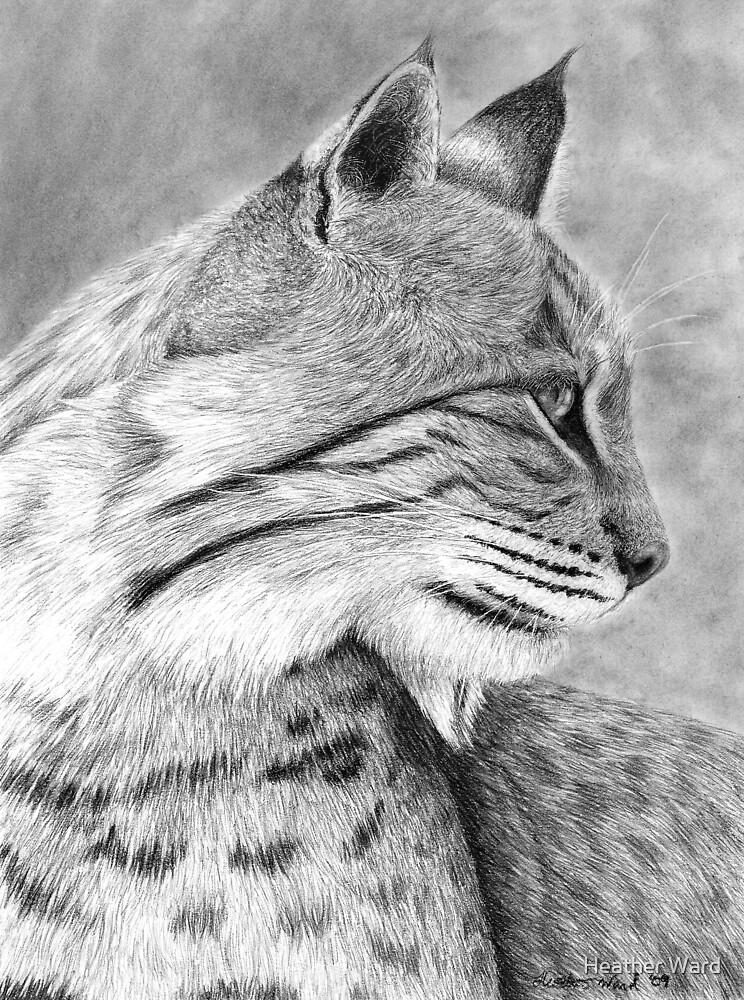 Bobcat by Heather Ward