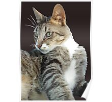 Tabby Cat Isolated Background Poster