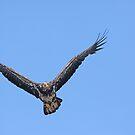 Juvenile Bald Eagle by kathy s gillentine