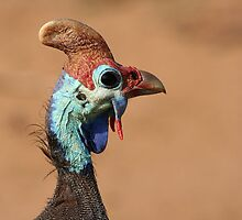 Guineafowl by Jared Bloom
