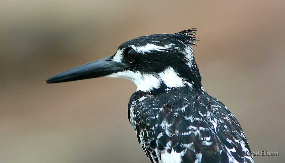 Pied Kingfisher by Jared Bloom