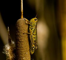 Solitary Locust by maileilani