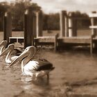 Pelican Police - Sussex Inlet, New South Wales by Deanna Roberts Think in Pictures