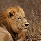 Lion Profile by Jared Bloom