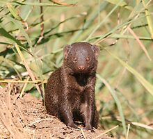Common Dwarf Mongoose by Jared Bloom