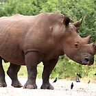 Male White Rhino by Jared Bloom