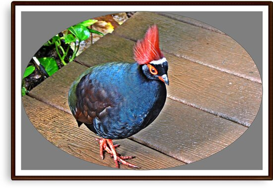 """"""" The Rouroul crested Partridge"""" by Malcolm Chant"""