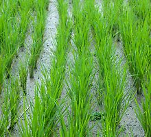 Rice Shoots by Werner Padarin