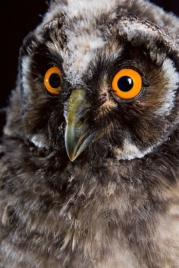 Portrait of an owl by krasser
