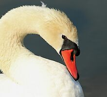The Mute Swan by kathy s gillentine