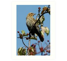 Female Red-Winged Blackbird Art Print