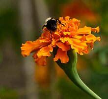 Bee on Marigold by Jay Gross