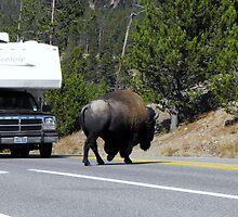 Buffalo in Yellowstone by Jan  Tribe