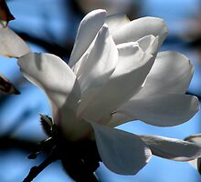 Spring Magnolia by swaby