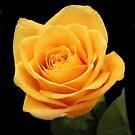 Yellow Rose by vette