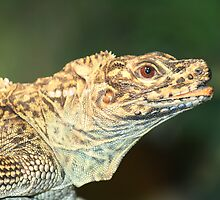 Philippine Sailfin Lizard by lulisa