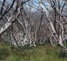 Snow Gums, The Bluff by MissyD