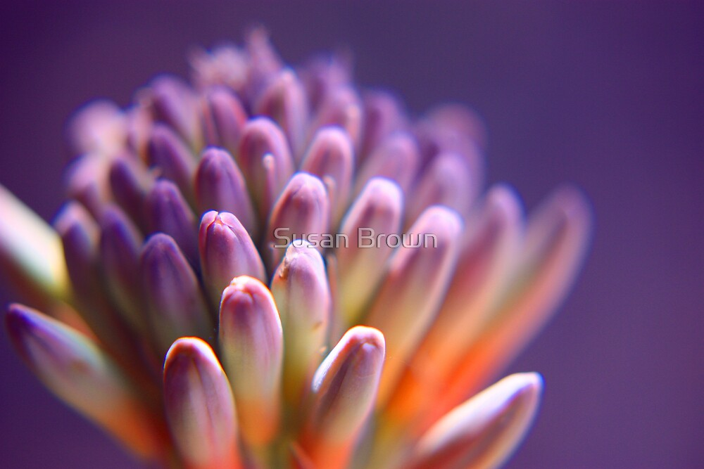 Soft Purple Succulent Flower Buds by Susan Brown