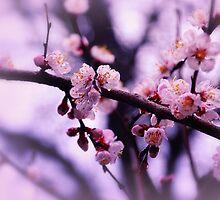 Sakura (4) by Mallorn