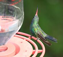 Broad-Billed Hummingbird by Fred Barber