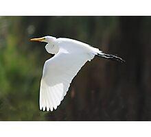 ''White Crane'' Photographic Print