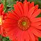 CLOSE UP - GERBERA