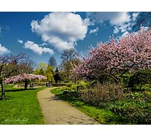 The Umbrella tree and other Cherry trees Photographic Print