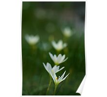 White rain lily or zephyranthes candida Poster