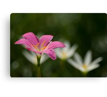 Zephyranthes grandiflora or pink rain lilly Canvas Print
