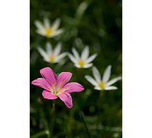 Zephyranthes grandiflora or pink rain lilly Photographic Print