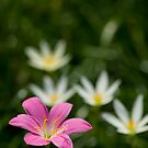 Zephyranthes grandiflora or pink rain lilly by afby