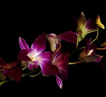 Orchids Royal by cherylc1