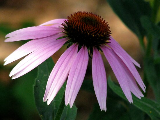 Pink Cone Flower by swaby