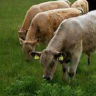 irish cows by Kent Tisher