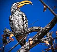Calao Leucomele (French) - Southern Yellow-Billed Hornbill by Saka