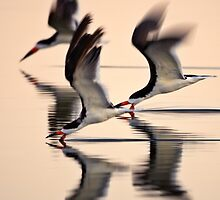 Black Skimmers of Santa Barbara by David Orias by David Orias