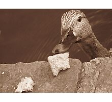 Hungry Duck Photographic Print