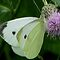Cabbage White Butterfly by swaby