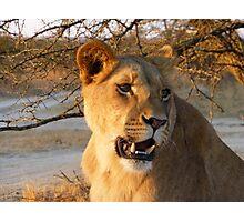 Lioness at sunset, Zimbabwe Photographic Print