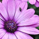African Daisy by Sheri Nye