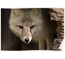 Vulpes lagopus  Poster